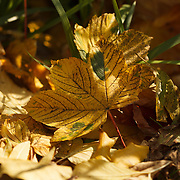 Autumn in Ireland, 2012: A large yellow leaf lands among the other fallen leaves in the undergrowth