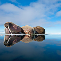 Norway, Svalbard, Spitsbergen Island, Group of Walrus (Odobenus rosmarus) sleeping on pan of melting sea ice on summer afternoon