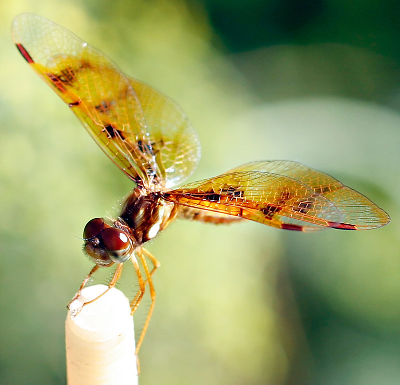 Eastern Amberwing Damselfly