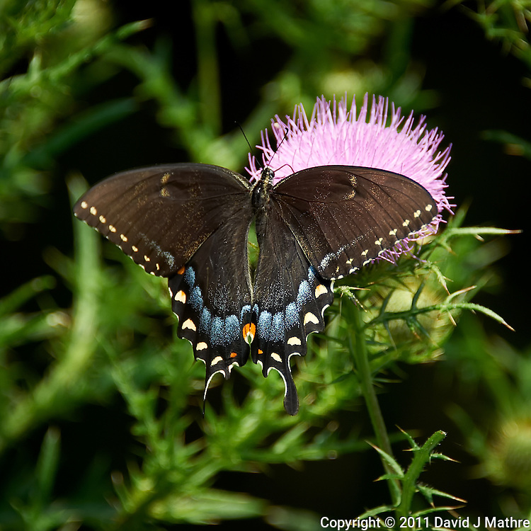 Black Swallowtail Butterfly on Thistle Bloom. Sourland Mountain Preserve, Summer Nature in New Jersey. Image taken with a Nikon D700 and 28-300 mm VR lens (ISO 200, 300 mm, f/5.6, 1/400 sec). Raw image processed with Capture One Pro 6, Nik Define, and Photoshop CS5.