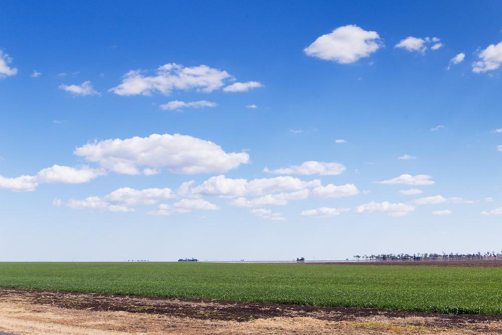 Green early wheat crop  field under blue sky with cumulus clouds near Jimbour Queensland, Australia