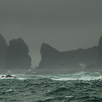 Fulmars wheeling, St Kilda, West Scotland.