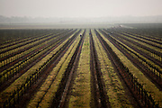 Farmworkers tend to a vineyard in the Delta, February 18, 2010.