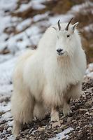 Mountain goat during winter in Wyoming