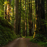 Prairie Creek Redwoods State Park, Redwood Trees, California