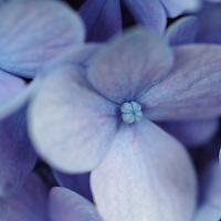 Hydrangea 'Nikko Blue'