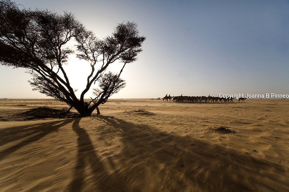 A camel caravan travels through the Sahara Desert, Sudan.150,000 camels travel from Sudan to Egypt yearly to be sold.