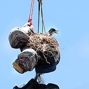 A bird sits in a nest made in a pair of shoes that were thrown over a utility wire Friday, June 6, 2008, above a parking lot in Bowling Green, Ky. (AP Photo/Daily News, Joe Imel)