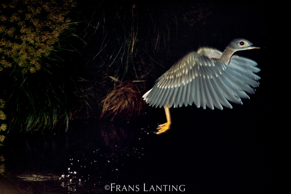 White-backed night heron taking flight, Gorsachius leuconotus, Okavango Delta, Botswana