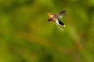 Glassy-winged Sharpshooter (Homalodisca vitripennis) flying<br /> United States: Alabama: Tuscaloosa Co.<br />Tulip Tree Springs off Echola Rd.; Elrod<br />20-Jul-2016<br />J.C. Abbott #2849