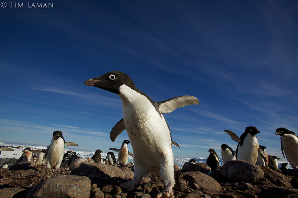 An Adelie Penguin (Pygoscelis adeliae) on the Fish Islands, Antarctic Peninsula.