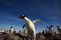An Adelie Penguin (Pygoscelis adeliae) on the Fish Islands, Antarctic Peninsula.