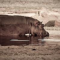 Wading hippo in Ruaha National Park, Tanzania