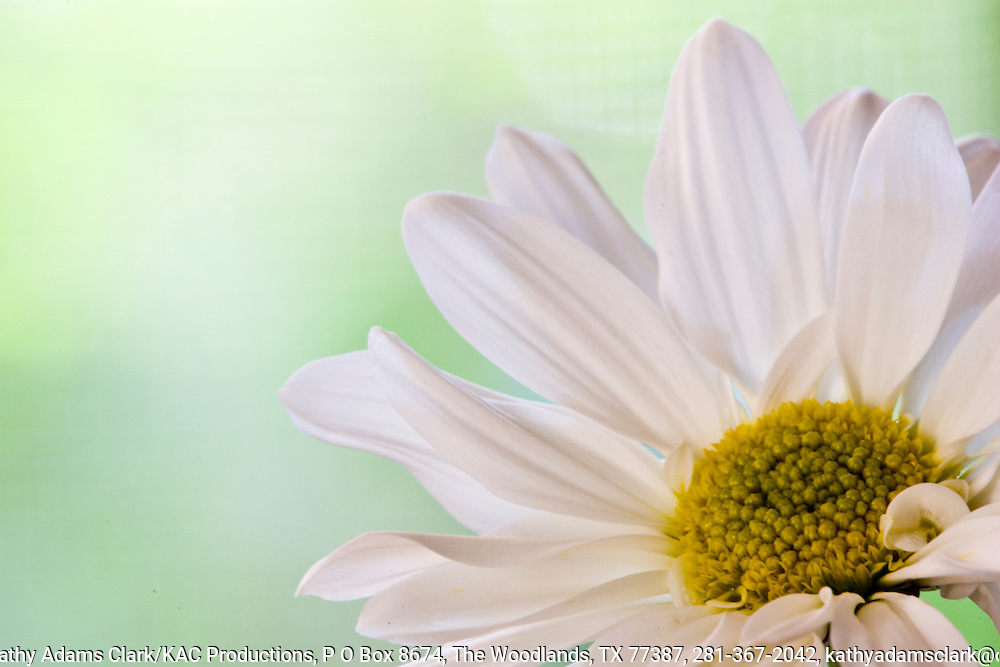 Detail of a daisy bloom