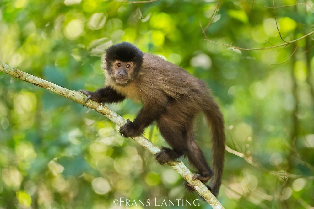 Brown capuchin monkey, Cebus apella, Iguazu National Park, Argentina