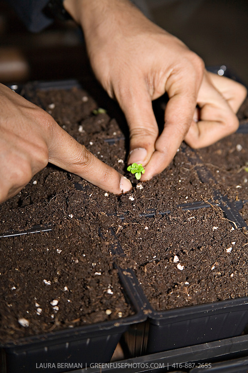 """""""Pricking out"""" or delicately  transplanting a seedling from its original seeding tray into the cell pack in which it will continue to grow."""