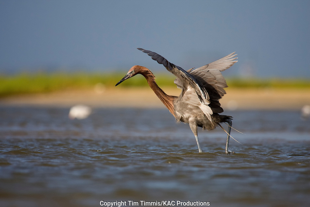 Reddish Egret, Egretta rufescens, Bolivar Flats, Texas gulf coast, extended wings while fishing