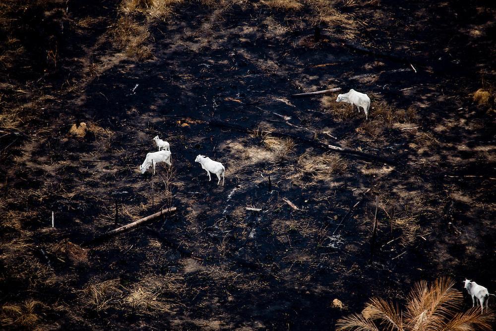 Cattle grazing on a recently burnt area. Flight SW of Santarem on Trairao Municipality..Daniel Beltra/Greenpeace