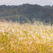Golden grasses and California poppies blow in the strong wind along the Seaview Trail in Tilden Regional Park near Berkeley, California.
