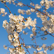 USA, Washington DC. White cherry blossoms.