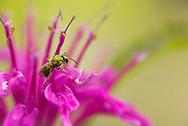 A Metallic Green Bee (Augochlorella sp) collects pollen and nectar from a Bee Balm flower (Monarda didyma)