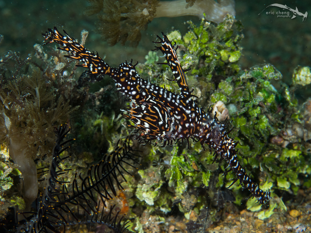 An ornate ghost pipefish (Solenostomus paradoxus).  Wainilu, Rinca, Komodo National Park, Indonesia.