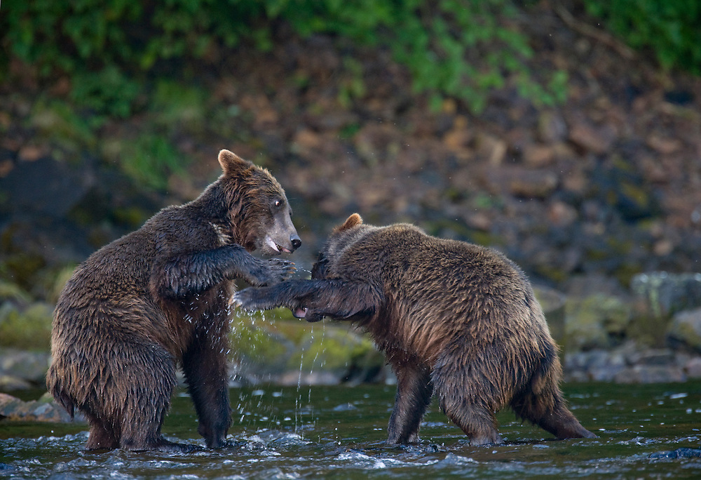 USA, Alaska, Brown (Grizzly) Bear (Ursus arctos) play fighting in small stream along Pavlof Harbor