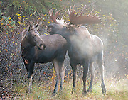 Alaska; Bull moose(Alces alces) resting his head on a cow in anticipation of mating, Anchorage, Campbell Tract, BLM.