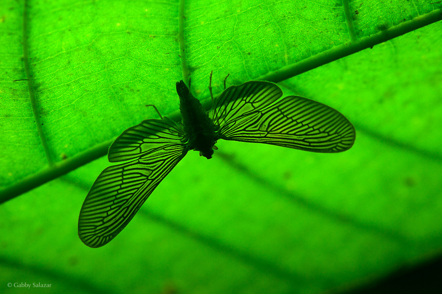 Planthopper (Order: Hemiptera; Family: Derbidae) silhouetted with a headlamp on the other side of the leaf. Malinowsky Control Post in the Tambopata National Reserve at the confluence of Malinowsky and Tambopata Rivers in the Madre de Dios Department of Peru.