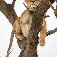 Tanzania, Ngorongoro Conservation Area, Ndutu Plains, Lioness (Panthera leo) sleeps after climbing onto lower branches of acacia tree on savanna