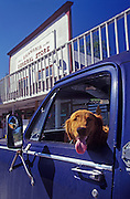 Image of dog in pick-up truck parked at local general store in Skamania, Columbia River Gorge, Washington, Pacific Northwest, property released
