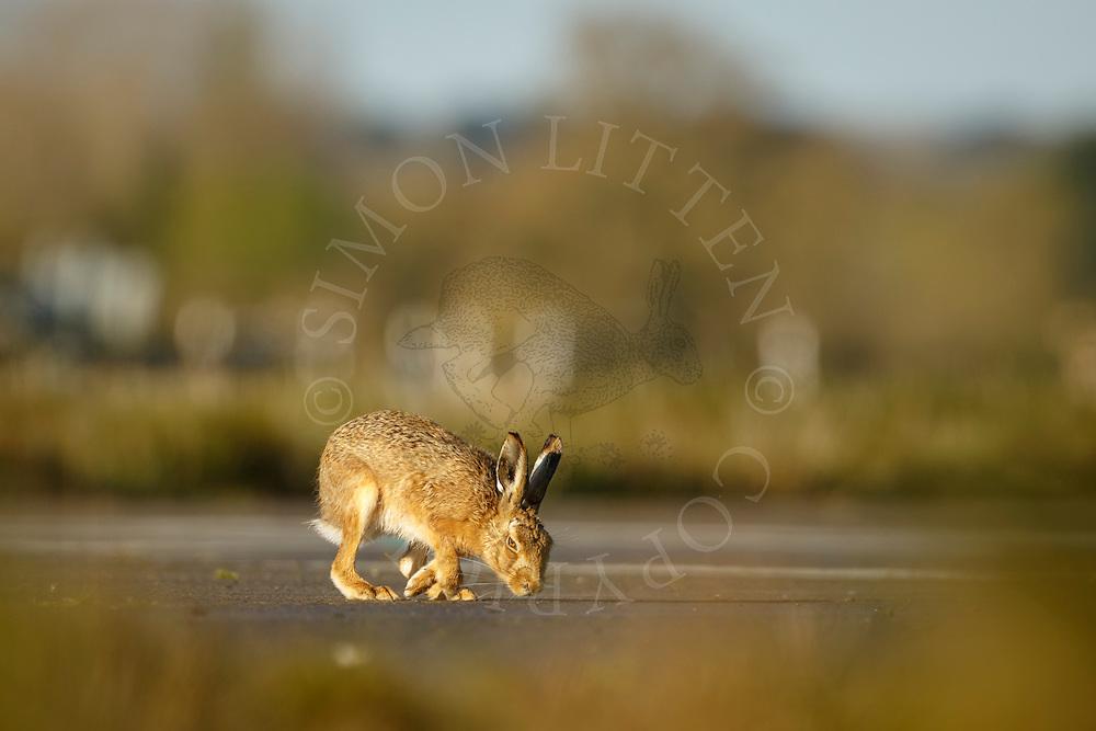European Hare (Lepus europaeus) adult running on tarmac road, Norfolk, UK. April.