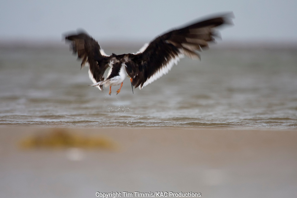 Black Skimmer, Rynchops niger, Galveston, Texas gulf coast, taking off with blurred wings, cloudy weather, soft light