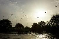 Scarlet Ibises (Eudocimus ruber) flying over the Orinoco River Delta, Venezuela.