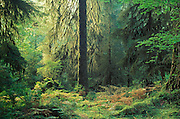 Temperate rainforest, Hall of Mosses Trail, Hoh Rainforest, Olympic National Park, Washington.