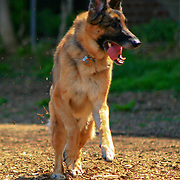 German Shepherd running with her tongue flapping at the Clarendon dog park, Arlington, Virginia