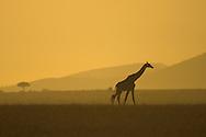 Lone Masai Giraffe (Giraffa camelopardalis tippelskirchi) walking to right, full body silhouette at sunrise.