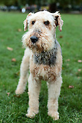 This is Roxy, a fluffy Airedale Terrier