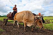 Oxen in Tacajo, Holguin, Cuba.