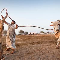 United Arab Emirates, Dubai, Arab animal handler ties off massive bull during traditional Arab bullfights in city of Fujairah