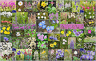 """Collage of fifty-four different Alaska wildflowers. It comes with its own 8.5""""x11"""" numbered photocopy with a table on the flipside identifying each wildflower. (36.2""""x23.2"""")"""