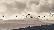 Barnacle geese, Islay