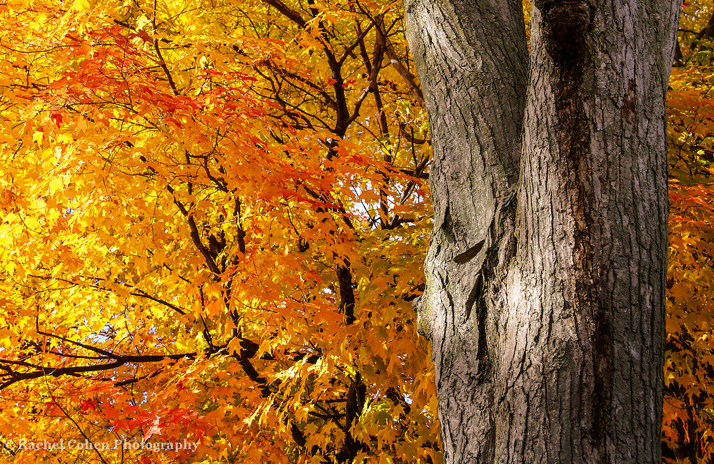 &quot;Under the Old Maple Tree&quot; 2<br />