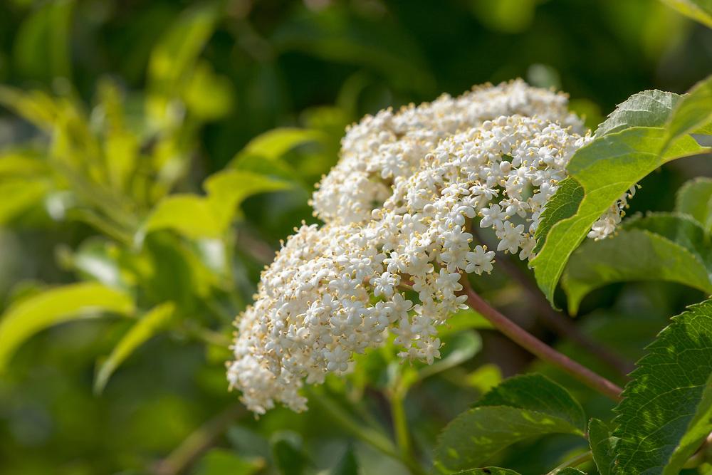 American elder, or Elderberry, flowers (Sambucus canadensis L. var. canadensis).