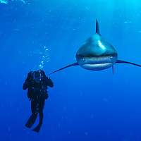Oceanic whitetip shark and diver in The Bahamas. <br /> Signed, framed print is 30 x 42&quot;.  Black frame is 1 1/4&quot; wide.