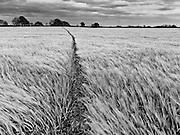 Coast to Coast XIX. Barley field in the Vale of Mowbray.