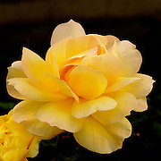 A close-up of a yellow rose,