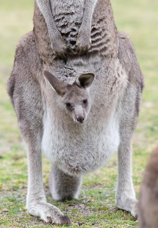 Eastern Grey Kangaroo (Macropus giganteus) with young Joey in pouch, NSW, Australia