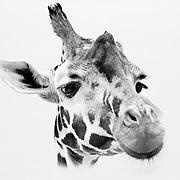 Soul Survival: African Giraffe (Scientific name: Giraffa camelopardalis)<br /> Endangered/Species Survival Plan