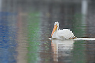 Syracuse White Pelican